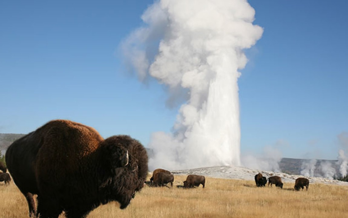 Old Faithful and Buffalo