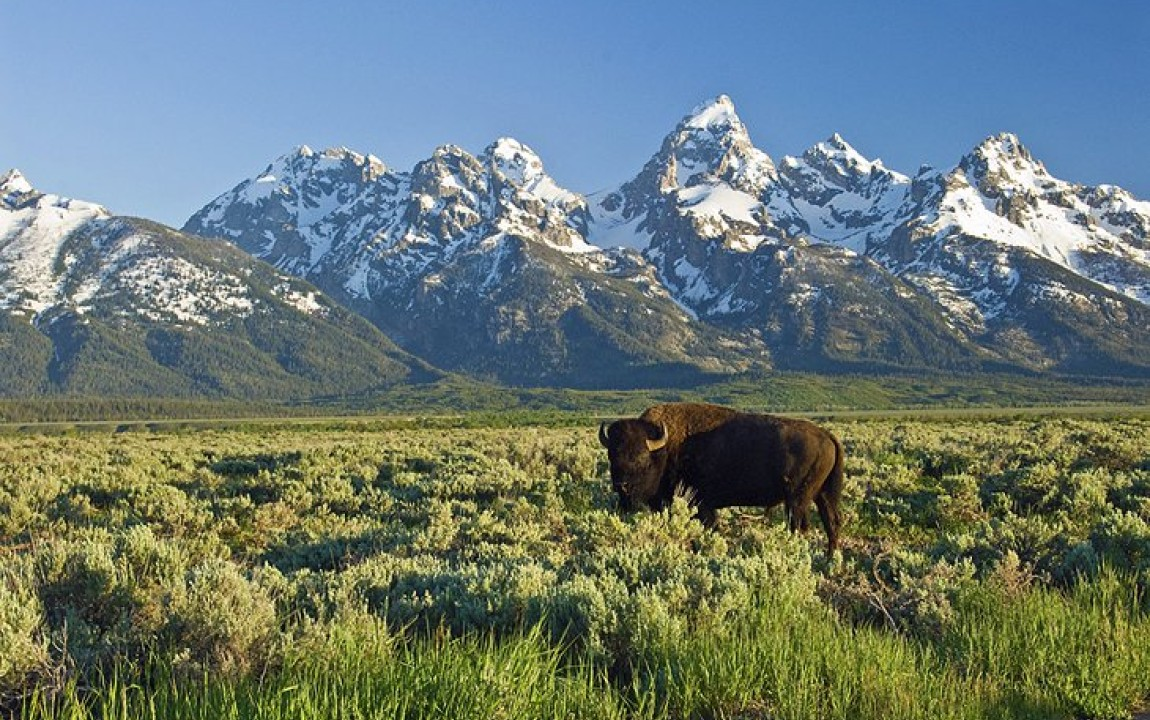Tetons and Buffalo